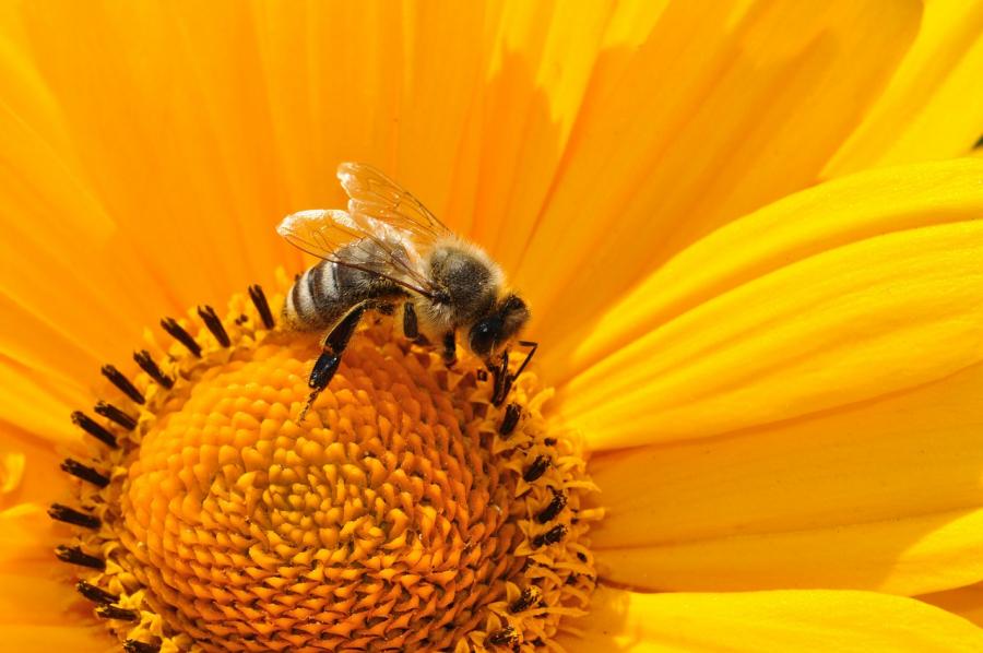 Bi samler pollen ind i gul blomst